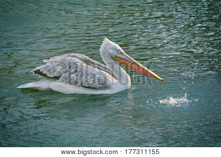 Image of Grey Pelican Swimming on the Lake