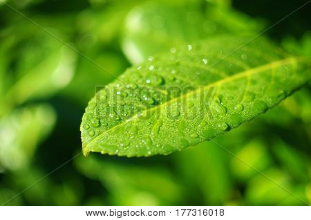 Closeup portrait of a green leaf with water drops. Shallow depth of field.