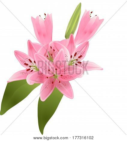 Vector illustration of bouquet of pink lilies