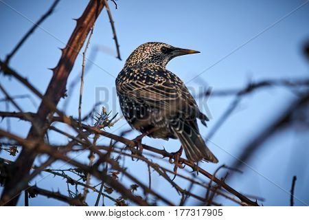 Starling Perched In A Bush