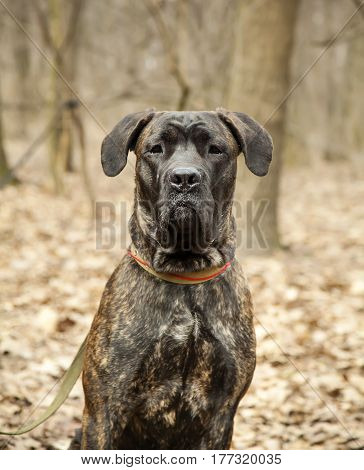 Cane Corso dog portrait close up in autumn forest