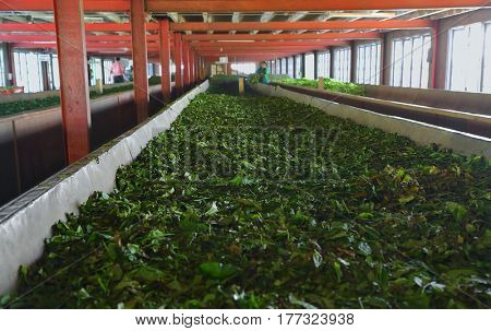 Fermentation of tea leaves in a factory in Sri Lanka