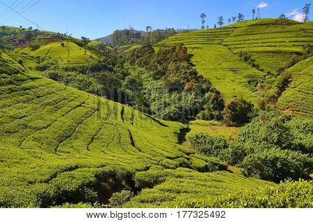 Mountain tea plantation landscape in Sri Lanka