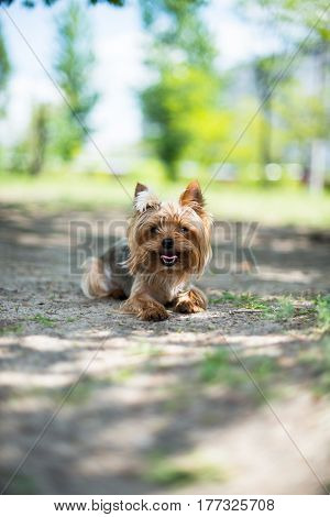 portrait of a purebred Yorkshire Terrier on the street walkers in the background