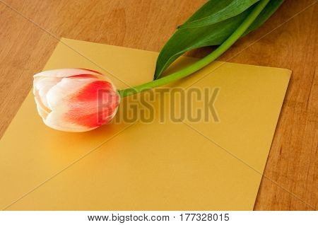 One Spring Tulip Lies On A Gold Background