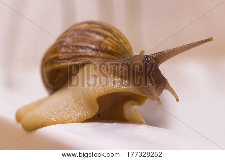 Single Snail with a beautiful shell on the gray-white background