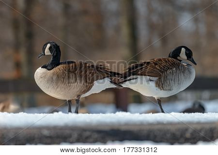 Canada goose Branta canadensis. Wildlife animal. close-up