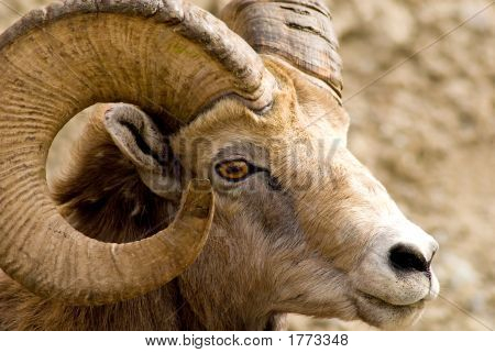 Big Horned Mountain Sheep
