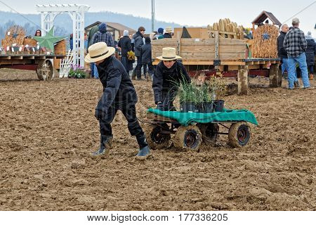 PENRYN PENNSYLVANIA - MARCH 18 2017: Amish boys haul potted plants on a rainy muddy day at the annual Amish Mud Sale. This auction benefits Penryn Fire Co.#1 and Limerock Parochial School.