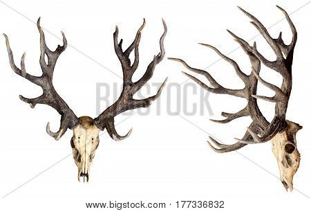 Schomburgk's deer head skull isolated on white background with clipping path Extinct animal
