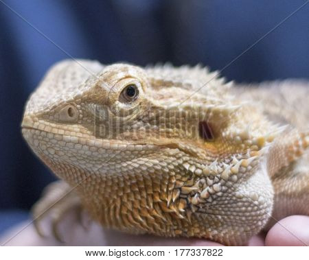 Close-up of a exotic captive bearded dragon.
