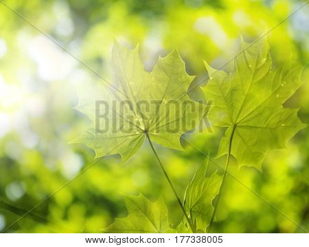 Summer Green Maple Leaf Background