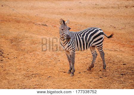 Burchell's Zebra On Red Dry Soil