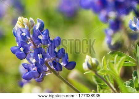 Texas Bluebonnet (Lupinus texensis) flowers blooming in spring. Closeup.