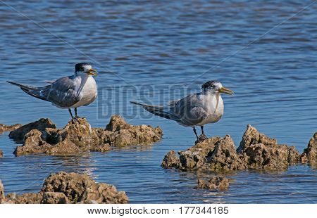 Crested Tern(Sterna bergis) on top lake of South Australia's Coorong