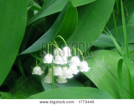 One Lily of the Valley cluster