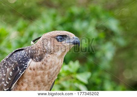 Crested Goshawk Or Accipiter Trivirgatus White Tropical Asian Hawk Eagle