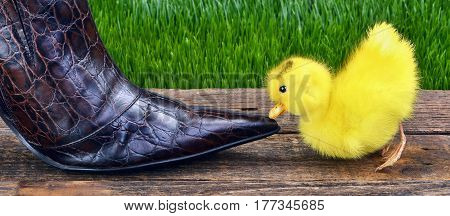 Cute baby ducky next to high fashion leather shoe.