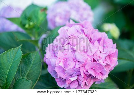 Hydrangea, soft focus, noise added. Beautiful flowers. Beauty in nature. Purple Hydrangea flower (Hydrangea macrophylla) in a garden.