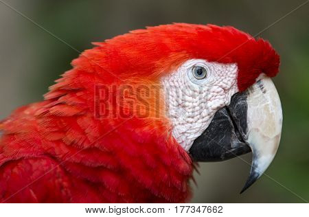portrait of Red scarlet macaw bird in Mexico