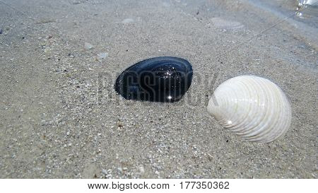 Black and white pipi shell shells on sandy beach sparkle in light