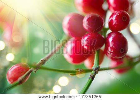Coffee Plant. Red coffee beans growing on a branch of coffee tree. Branch of a coffee tree with ripe fruits close up.