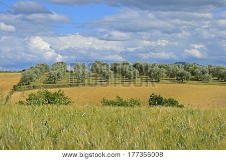 Olive grove and a field in Tuscany with a clouded sky in the background