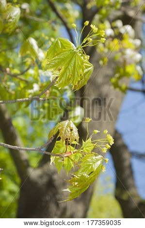 Acer leaves and blossom spring midday light
