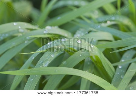 Raindrops on sunlit pendulous sedge grass leaves spring time