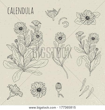 Calendula medical botanical isolated illustration, Plant, flowers, petals, leaves, seed hand drawn set. Vintage contour sketch