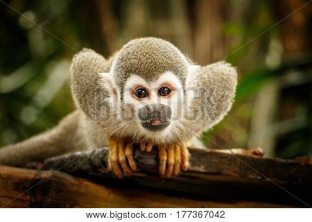 Look at Squirrel monkey in ecuadorian jungle in amazon