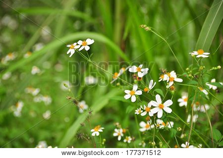 Bidens Pilosa Plants And Flowers In Garden