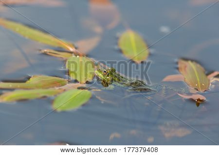 portrait of natural green frog (Rana esculenta) sitting in water with leaves