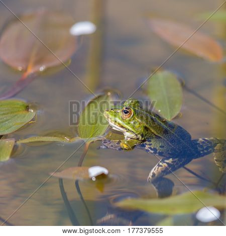 portrait of green frog (Rana esculenta) sitting in the water in its natural environment
