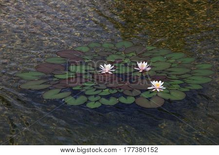Water lily plant with flower in the pond
