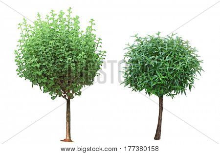 Two small trees as bonsai isolated on white background