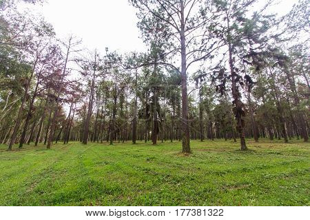 pine tree in asia , forest in thai