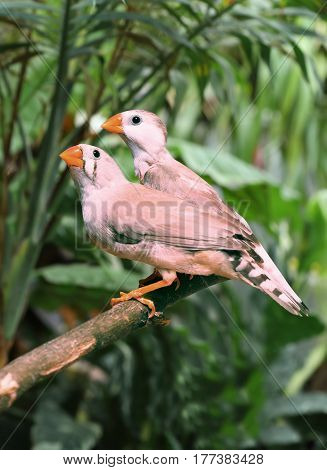Two beautiful zebra finch posing in a branch in the forest