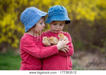 Cute Sweet Little Children, Preschool Boys, Playing With Little Chicks