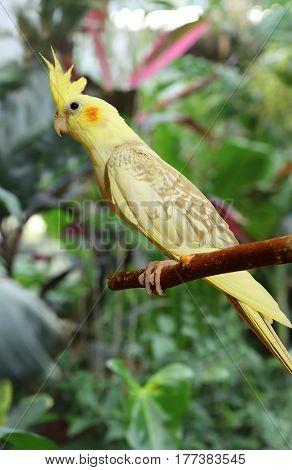 Beautiful yellow Cockatiel posing in a branch in the forest