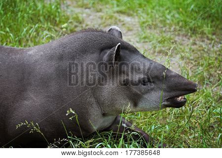 The lowland tapir. Animal portrait profile. Lying on the grass.