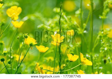 Bright Buttercups On A Green Grass Background.