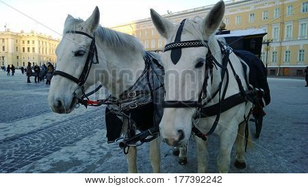 Two horses in winter are harnessed to a cart on the street in a big city