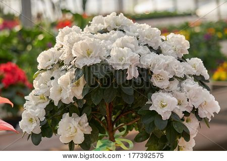 white azalea flower in bloom in spring