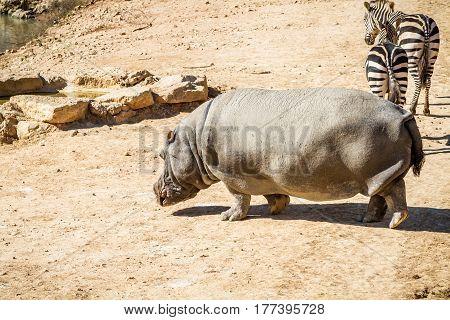 JERUSALEM, ISRAEL - JANUARY 23: Zebras and hippopotamus in Biblical Zoo in Jerusalem, Israel on January 23, 2017