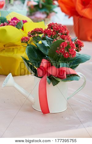 red begonia in a pot shaped watering can for gift and presentan