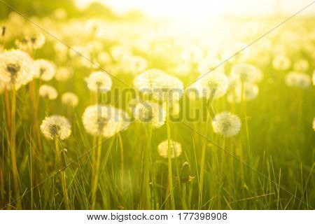 White Dandelion In Back Light. Dandelions On Sunny Meadow On The Sunset. Nature Background