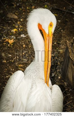 A great white pelican standing up preening