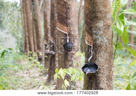 source of natural rubber latex is the Pará rubber tree