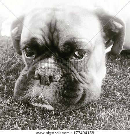 Portret van een boxer in het gras